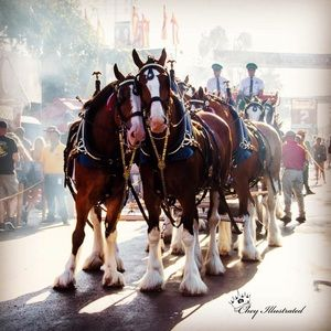 Photo wall art of Budweiser Clydesdales horses